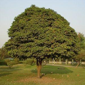 bir mango ağacı