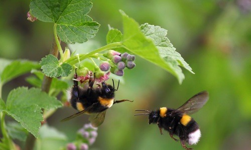 Tehlikedeki Bumble Arıları