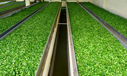 Çay Soldurma İşlemi